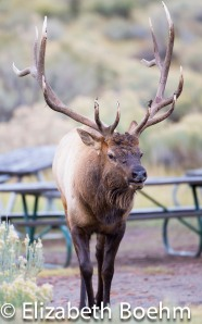 Bull elk in Mammoth