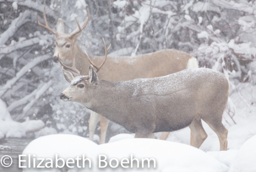 Mule Deer Bucks in snow