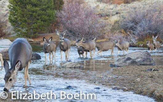 Mule Deer crossing river