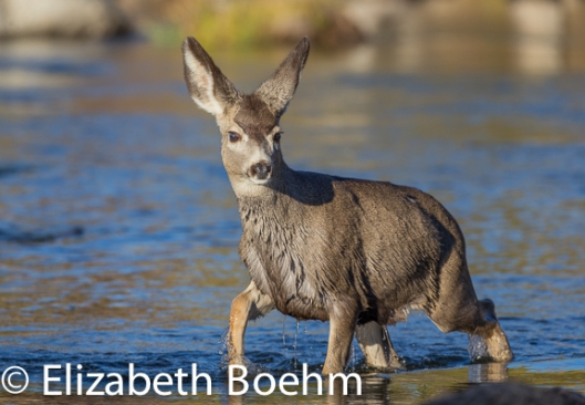 Mule Deer fawn crossing river