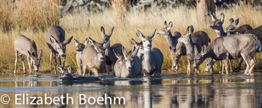 Mule Deer herd crossing lake