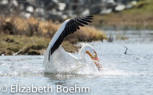 Fishing_Pelican-3