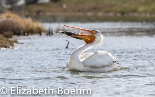Fishing_Pelican-5
