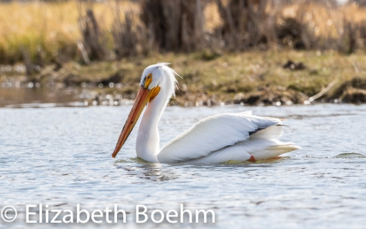 Fishing_Pelican-7