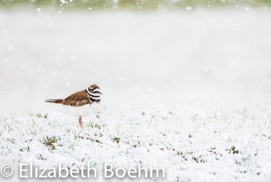 Killdeer in Snow